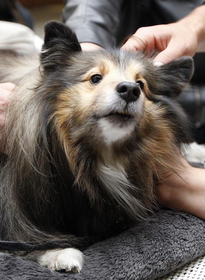 Mr. Parker, a shetland sheepdog, is petted by students as part of a visit by Therapy Animals of Utah at the social work building, Wednesday, Dec. 9, 2015.