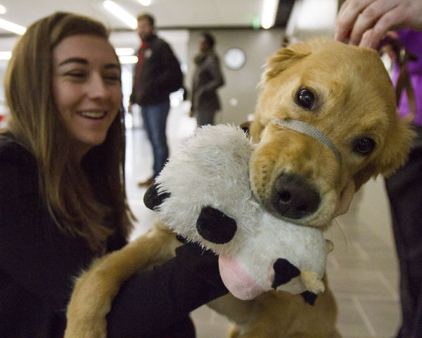 Anderson, a guide puppy in training, keeps a tight grip on his cow chew toy while playing with a law student. Wednesday, March 30, 2016.