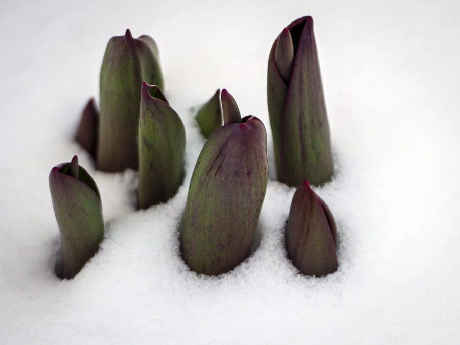 Tulips coming up through the snow on Sunday, March 4, 2018