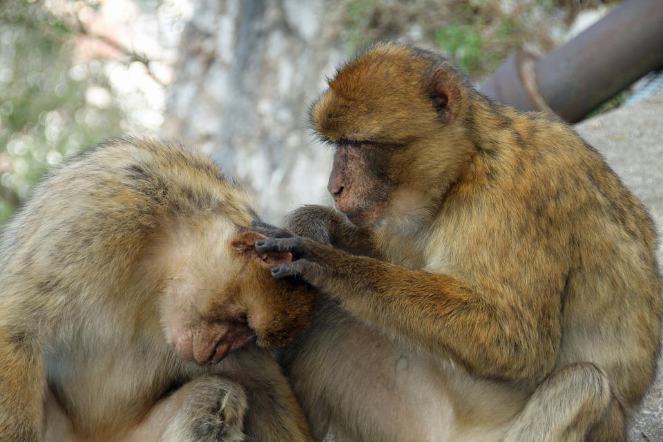 Barbary Macaque Monkeys