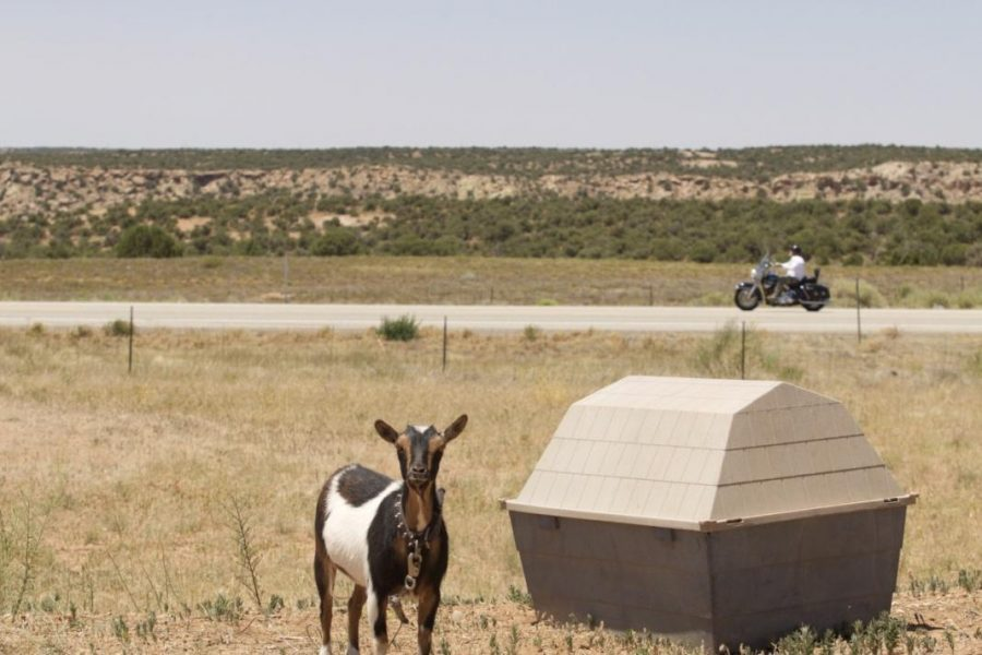 A+pet+goat+on+the+White+Mesa+Ute+Indian+reservation.