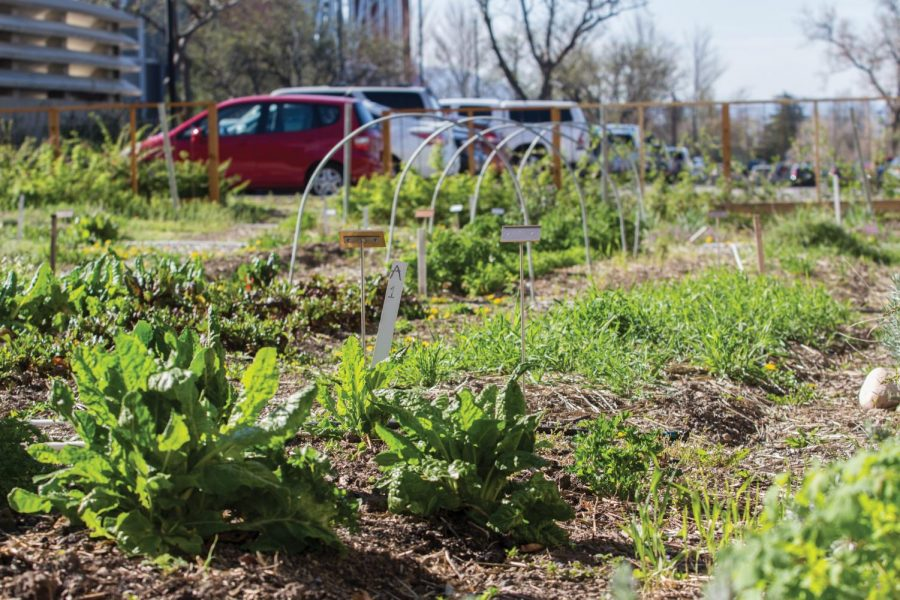 Edible Campus Gardens at the University of Utah. (Chronicle archives)