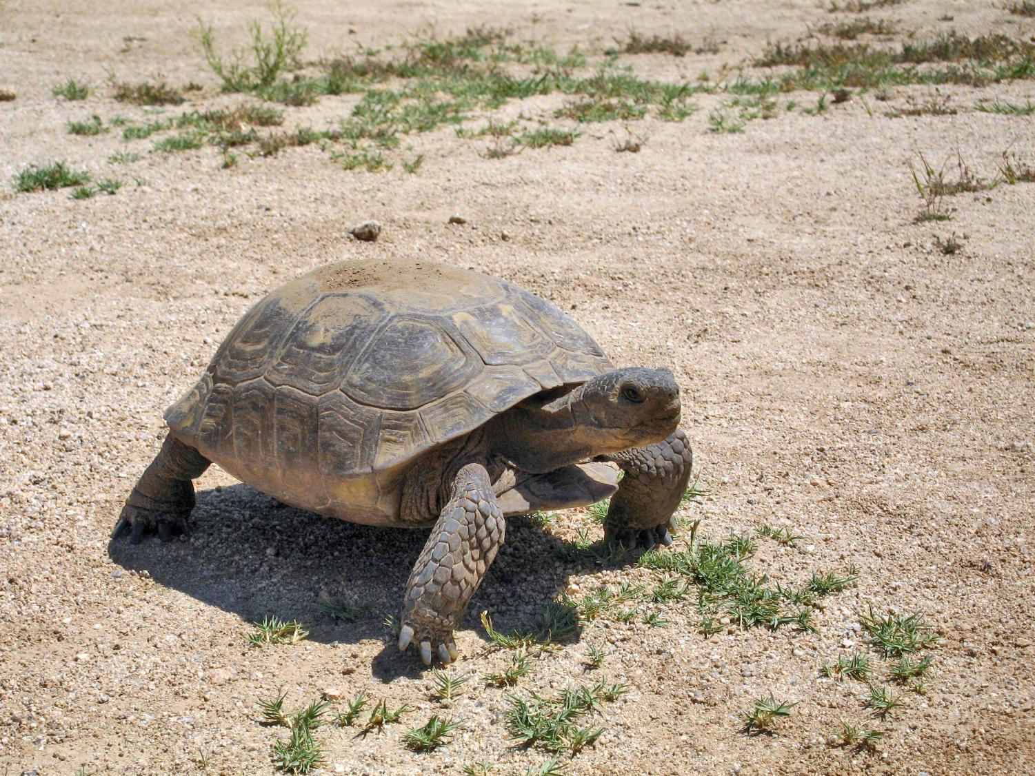 Kennedie Starr writes that fragile desert tortoises should not pay the price of population growth. (Courtesy Wikimedia Commons)