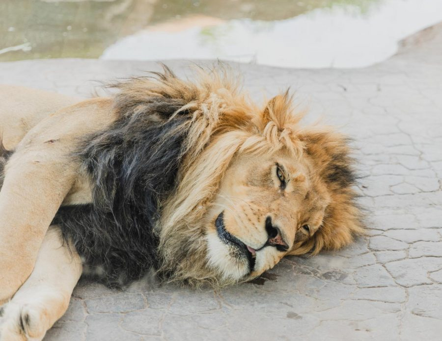 A lion lays down in a Hole Zoo exhibit in Salt Lake City on June 16, 2021. (Photo by Silvana Peterson | The Daily Utah Chronicle)