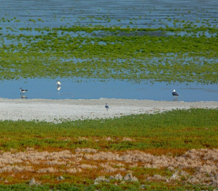 California Gulls and Black-Necked Stilts wade in shallow water on the east shores of the Great Salt Lake in Syracuse, Utah on July 27, 2021. (Photo by Gwen Christopherson | The Daily Utah Chronicle)