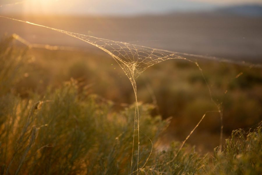 Spider webs stretch across sage brush and rabbit brush on either side of the causeway at Antelope Island State Park in Syracuse, Utah on July 27, 2021. (Photo by Gwen Christopherson | The Daily Utah Chronicle)